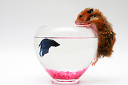 Pet hamster climbs into fish bowl on white background