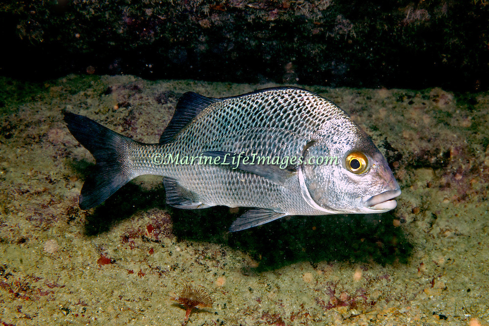 Black Margate inhabit reefs and rocky inshore areas in Tropical West Atlantic; picture take Key Largo.