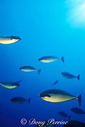sleek unicornfish, blacktongue unicornfish <br /> or Thorpe's unicornfish, Naso hexacanthus, <br /> normal coloration or color phase, <br /> Andaman Islands, India ( Andaman Sea / Indian Ocean )