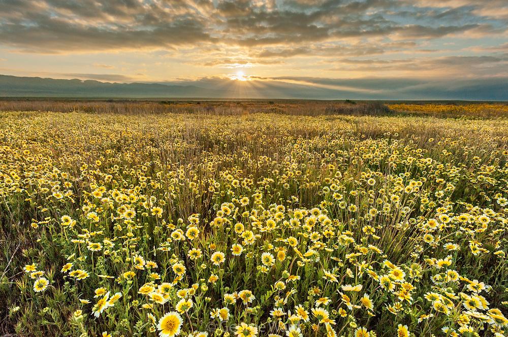 Tidy-tips and Rising Sun, Carrizo Plain National Monument, California