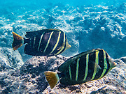The sailfin tang (Zebrasoma veliferum in the fish family Acanthuridae), photographed in Hanauma Bay, has an extensive range throughout Oceania, the Indian Ocean, and the South Pacific. It's popular in the aquarium trade. Though their skin is light beige with stripes, it can turn dark brown under stress. Hanauma Bay Nature Preserve is a popular snorkeling area run by the City and County of Honolulu, in the Hawaii Kai neighborhood, on the island of Oahu, Hawaii, USA. After decades of overcrowding, Hanauma Bay is now better managed as the first Marine Life Conservation District in the State, which attempts to sustain the stressed reef which hosts a great variety of tropical fish. Feeding the fish is no longer allowed and the park is closed on Tuesdays to allow the fish a day of rest undisturbed. Hanauma Bay formed within the tuff ring of an eroded volcanic crater along the southeast coast of Oahu.