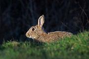 Rabbit, Oryctolagus cuniculus, on edge of field, Lancashire UK