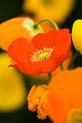 Papaver nudicaule 'Aurora Borealis' - Iceland poppies
