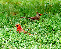 Northern Cardinal. Image taken with a Nikon D3 camera and 80-400 mm VR lens.