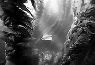 Bat ray (Myliobatis californica) swims through a kelp forest in Channel Islands National Marine Sanctuary, Santa Cruz Island, California.