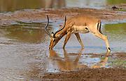 Male impala (Aepyceros melampus) drinking in tghe river Ewaso Ng'iro, Samburu National Reserve, Kenya.