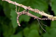 Giant Stick Insect, Phasmida sp., Ranomafana National Park, Madagascar, camouflaged on leaf at night,