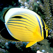Exquisite Butterflyfish inhabit reefs. Range Red Sea to South Oman.