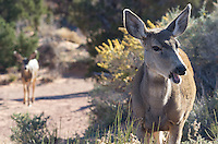 A mother mule deer opens her mouth as if to speak. The shy fawn stays in the background. I didn't expect to see deer in the desert. But this family was right by the campground in Arches National Park.<br />
