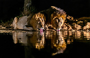 Two huge male lions drinking during night. Zimanga, South Africa.