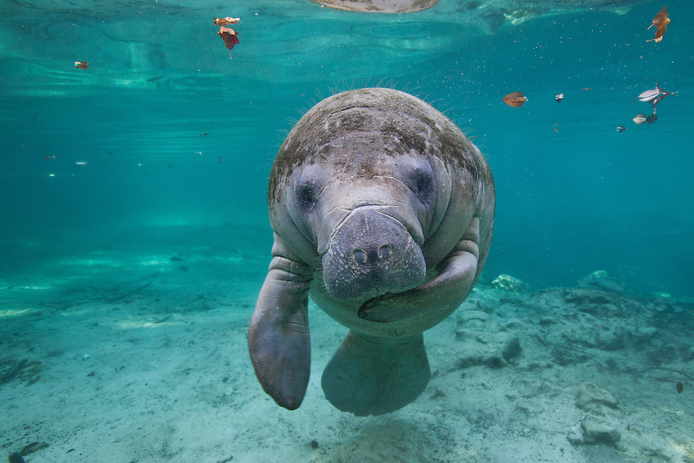"""Portrait of a West Indian manatee or """"Sea Cow"""" (Trichechus manatus), Crystal River, Three Sisters Spring, Florida."""