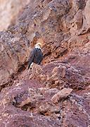 A male bald eagle perched above the Colorado River.
