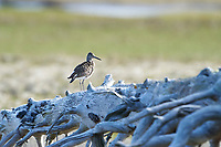 Willet (Catoptrophorus semipalmatus) on foreshore, Crescent Beach, Nova Scotia, Canada,