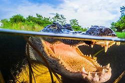 American alligator, Alligator mississippiensis, Everglades National Park, Florida, USA