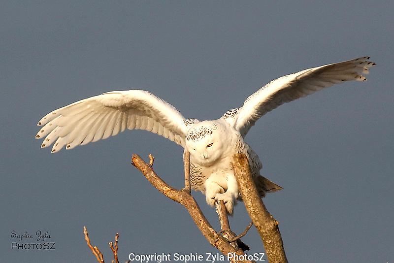 Snowy Owl Balance Act