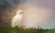 Cattle Egret in breeding plumage,Bubulcus ibis