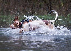 © Licensed to London News Pictures. 30/01/2021. Rickmansworth, UK. A dog runs through rising floodwater at a nature reserve in Rickmansworth. Days of heavy rain have lead to flood warnings for some areas in the south. Snow flurries are expected as far south as London this weekend. Photo credit: Peter Macdiarmid/LNP