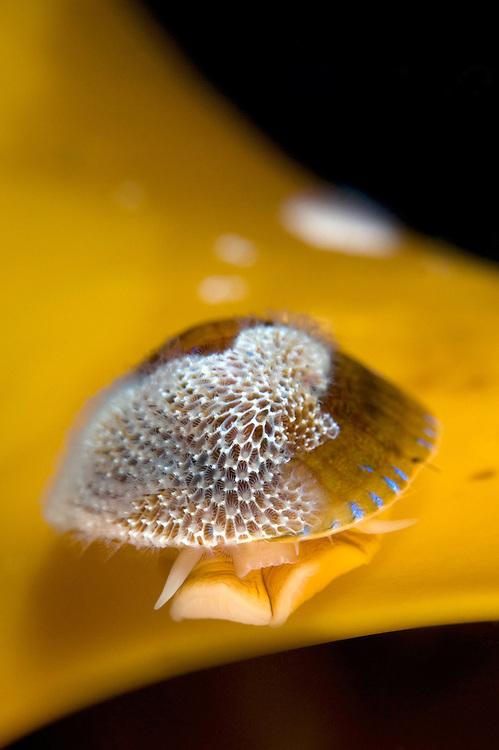 Limpet, Ansates pellucida<br /> Atlantic marine life, Saltstraumen, Bodö, Norway