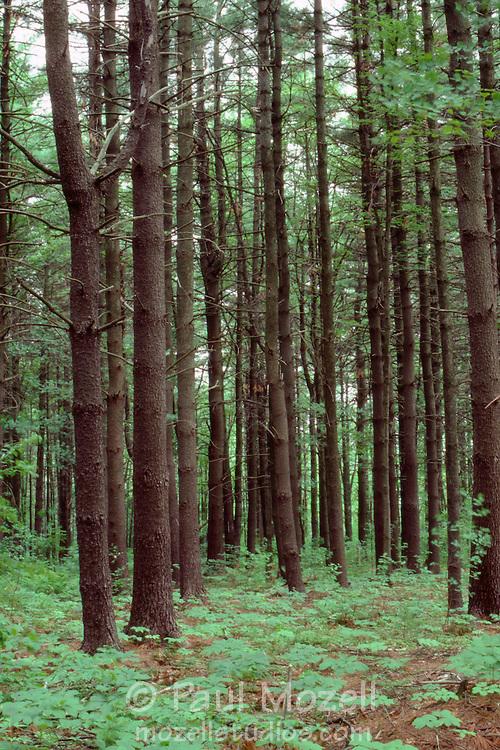 A pine forest in Massachusetts