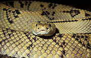Neotropical Rattlesnake, Crotalus durissus culminatus, yellow and black patterned skin scales, close up showing face, captive, Central and South America, poisonous, venemous