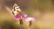 Marble White (Melanargia titea titania) on a thistle flower. Photographed in Israel in April