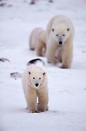 Polar Bear female with two cubs, Ursus maritimus, Churchill, Canada, Arctic