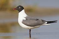 Laughing Gull - Larus atricilla - summer adult