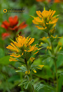 Yellow and Red Indian Paintbrush in the Stillwater State Forest near Whitefish, Montana, USA