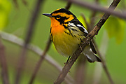 Blackburnian warbler (Dendroica fusca)<br />Point Pelee National Park<br />Ontario<br />Canada