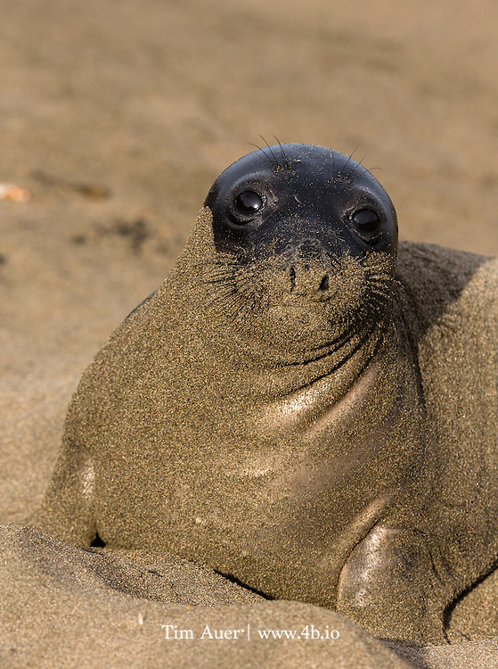 After its morning dip, this elephant seal pup emerges from the Pacific Ocean into the golden sand and golden California morning sunshine. This seal really appeared to be glowing. The wet-darkened coat of the seal combined with the rich light, made the yellow sand shine like gold.