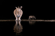 Female white rhinoceros (Ceratotherium simum) and her cub at a pond in Zimanga Private Reserve, South Africa, during night.