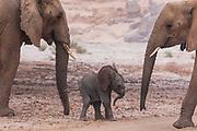 A small desert elephant calf (Loxodonta africana cyclotis) next to its mother in a breeding herd, Skeleton Coast, Namibia