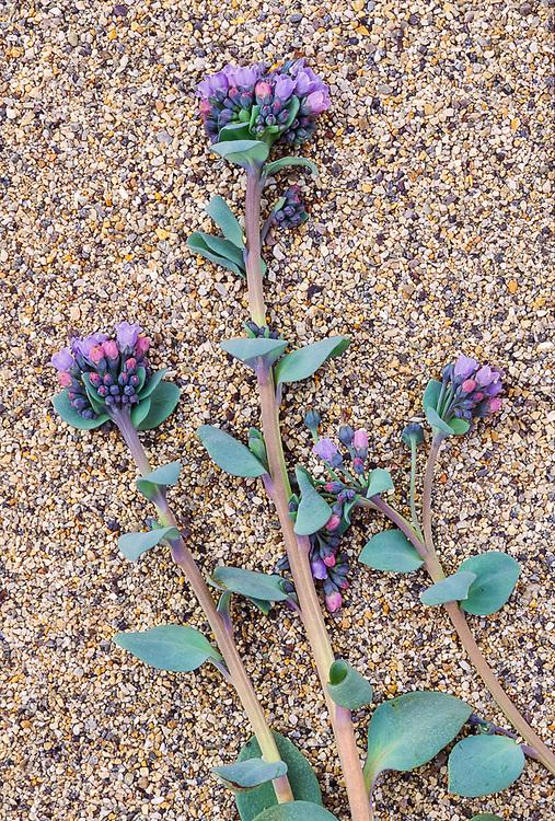 Bluebells (Mertensia spp.), Chukotsk Peninnsula, NE Russia