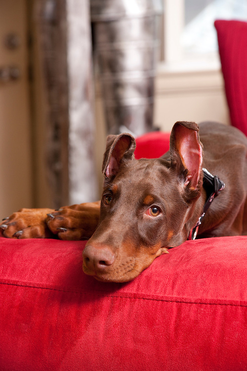 Red Doberman Puppy on red couch