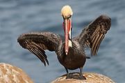 Brown Pelican in full breeding colors with wings held up (Pelecanus occidentalis) La Jolla, California