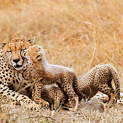Cheetah, (Acinonyx jubatus) Mother and cubs. Masai Mara Game Reserve. Kenya. Africa.