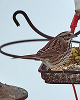 Song Sparrow (Melospiza melodia). Image taken with a Nikon D5 camera and 80-400 mm VR lens.