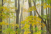 Maple, October, Cheshire County, New Hampshire, USA