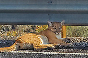 Mountain Lion on road, unable to walk after being struck on its hind quarters by a vehicle on Nevada route 225 in Elko County, Nevada. The animal was euthanized by Fish and Game officials shortly after this photo was taken. This image was taken by Malcolm Fea. More images available.