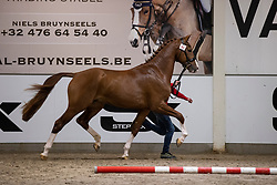 090, Negotiator<br /> BWP Hengstenkeuring 2021<br /> © Hippo Foto - Dirk Caremans<br />  11/01/2021