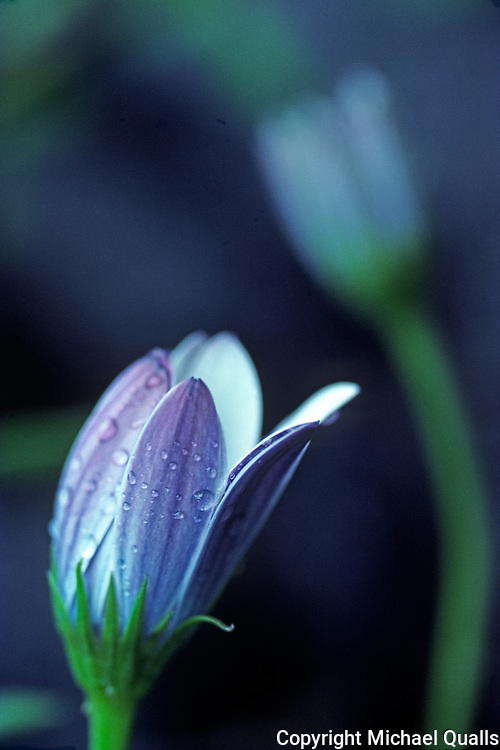 A daisy bloom and early morning dew drops