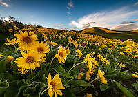A blanket of yellow balsamroot wildflowers cover the hillside in East Canyon of the Wasatch Mountains near Salt Lake City, Utah.