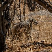 20211003 Maun Botswana <br /> Moremi nationalpark Okavangodeltat<br /> Babian<br /> <br /> <br /> ----<br /> FOTO : JOACHIM NYWALL KOD 0708840825_1<br /> COPYRIGHT JOACHIM NYWALL<br /> <br /> ***BETALBILD***<br /> Redovisas till <br /> NYWALL MEDIA AB<br /> Strandgatan 30<br /> 461 31 Trollhättan<br /> Prislista enl BLF , om inget annat avtalas.