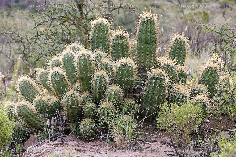 CARDONES (Trichosereus candicans), PARQUE NACIONAL LIHUE CALEL, PROV. DE LA PAMPA, ARGENTINA