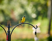 American Goldfinch. Image taken with a Nikon D850 camera and 200 mm f/2 VR lens