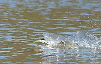 A Western Grebe, Aechmophorus occidentalis, runs across the water on Upper Klamath Lake, Oregon