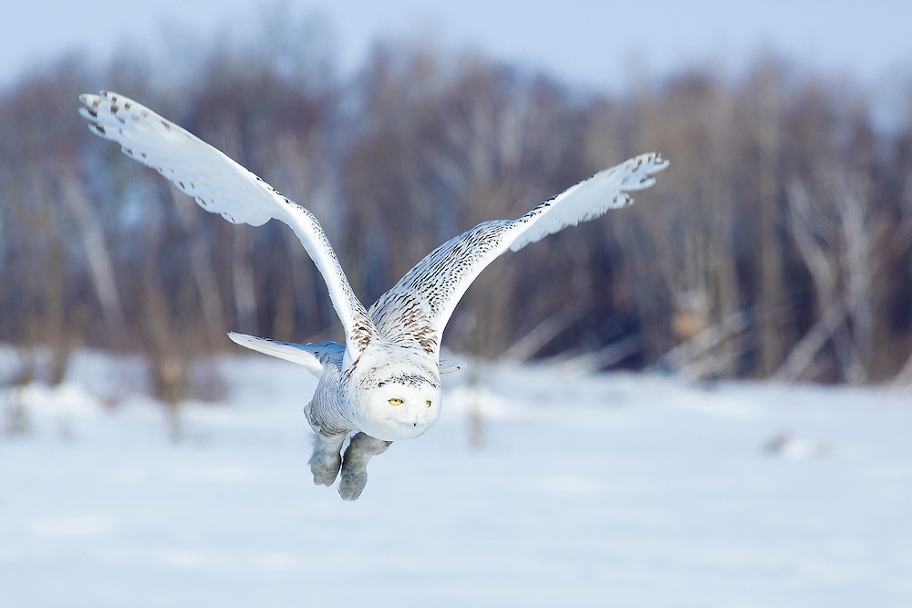 """Snowy Owl in flight<br /> <br /> Available sizes:<br /> 18"""" x 12"""" print <br /> 18"""" x 12"""" canvas gallery wrap <br /> <br /> See Pricing page for more information. Please contact me for custom sizes and print options including canvas wraps, metal prints, assorted paper options, etc. <br /> <br /> I enjoy working with buyers to help them with all their home and commercial wall art needs."""
