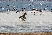 Spotted Hyena (Crocuta crocuta) Chases flamingos. Photographed in Tanzania