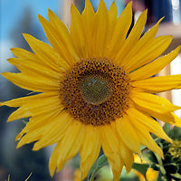 Summer time in Montana and the sunflowers greet the day.