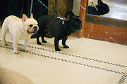 French Bull Dogs at The133rd Westminister Kennel Club Dog Show Press Conference announcing The Dogue De Bordeaux debut at the Westminister Kennel Club Dog Show held at the Pennsylvania Hotel Sky Top Ball Room on February 5, 2009 in New York City